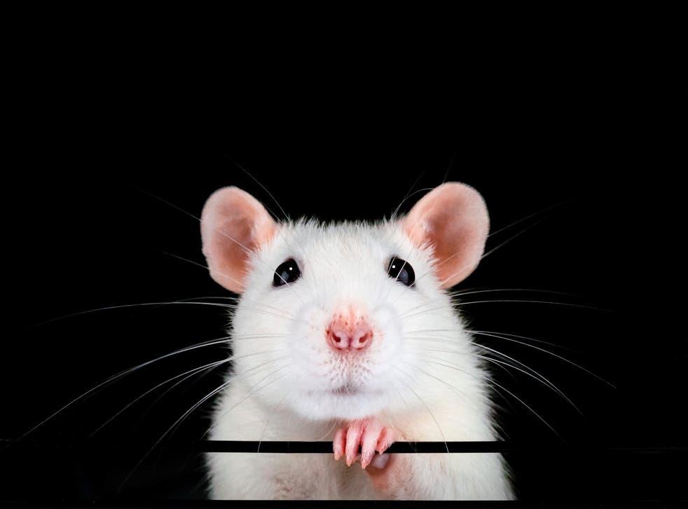 Los investigadores dicen que restauraron la visión en ratones viejos al invertir el reloj biológico