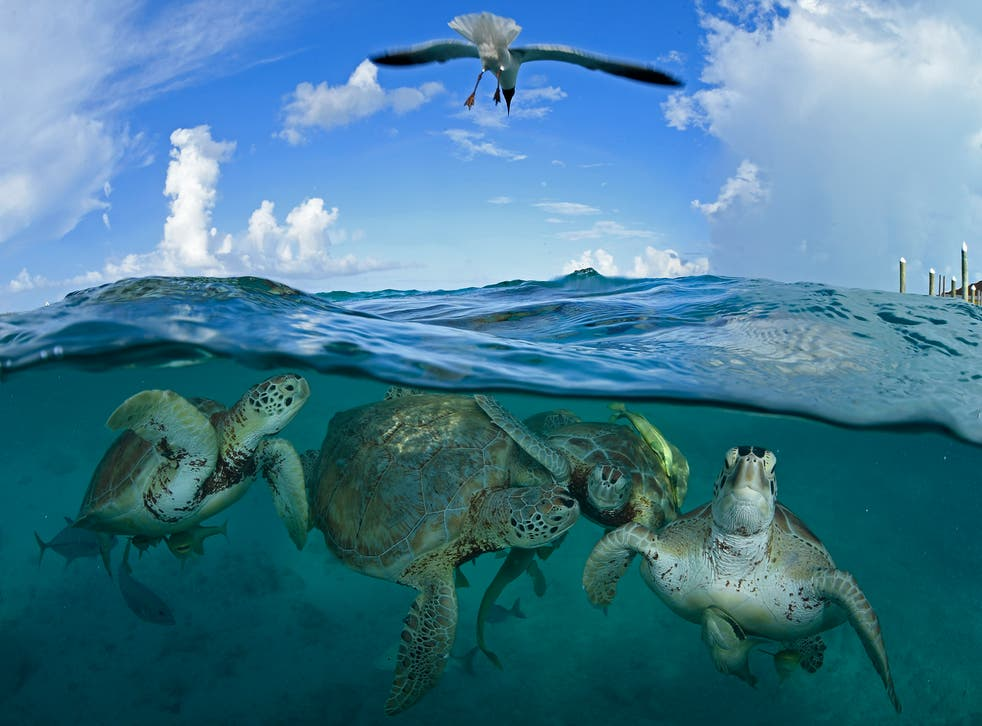 Endangered green sea turtles in Little Farmer's Cay in the Bahamas