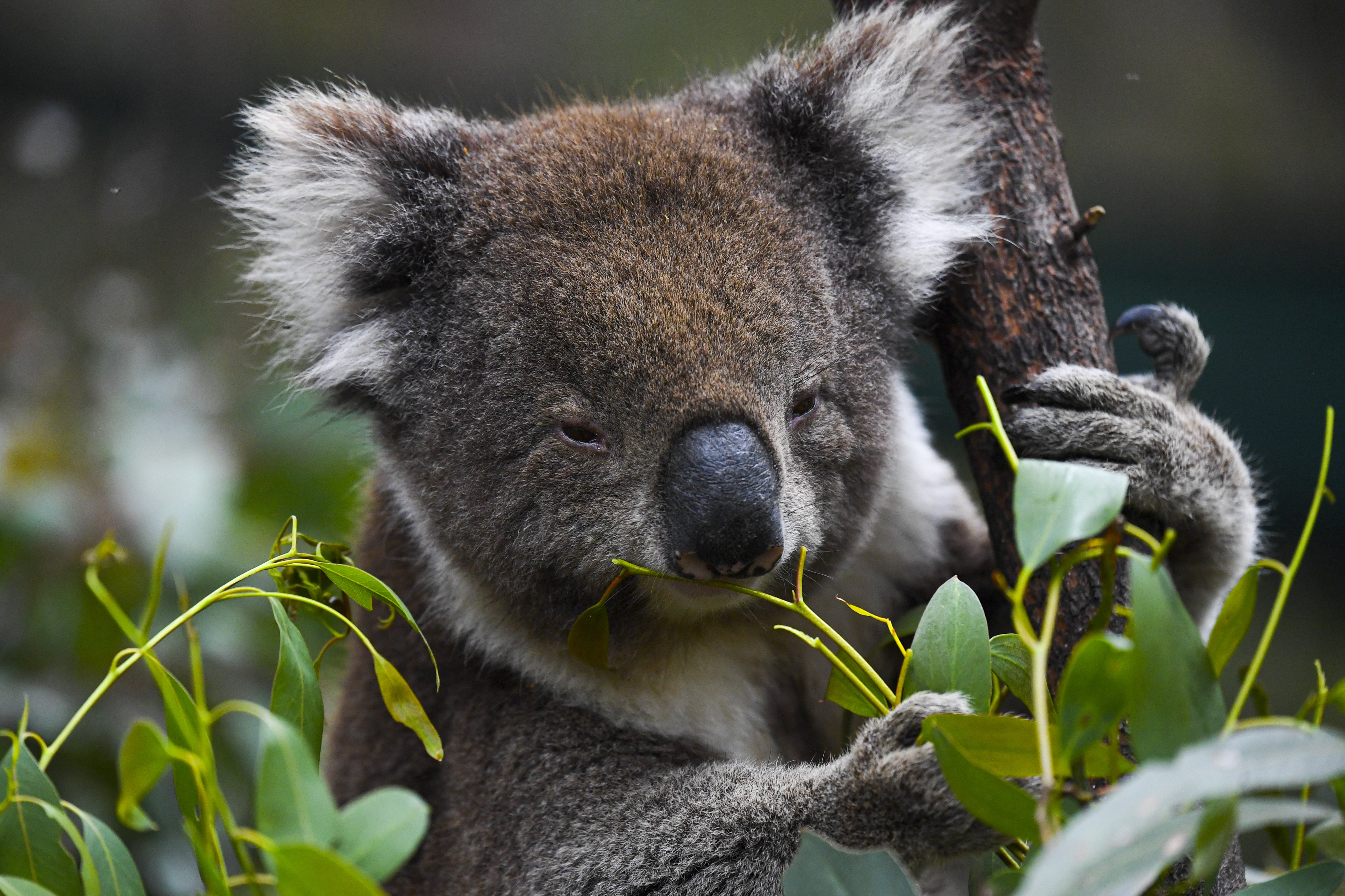 Australia to use drones to count every koala in the country as threat of extinction looms