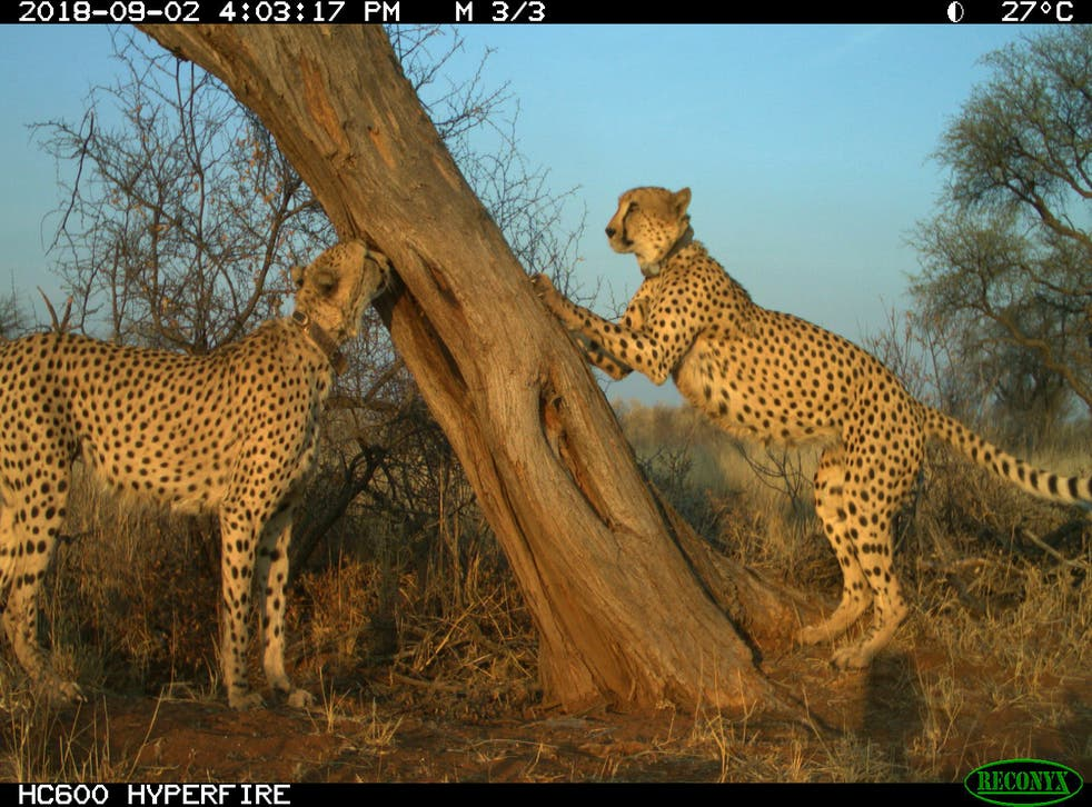 Cheetah Hangouts