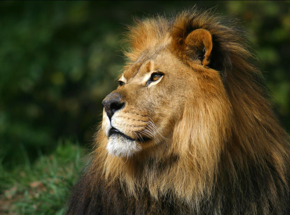 Four lions in a zoo in Spain have tested positive for Covid