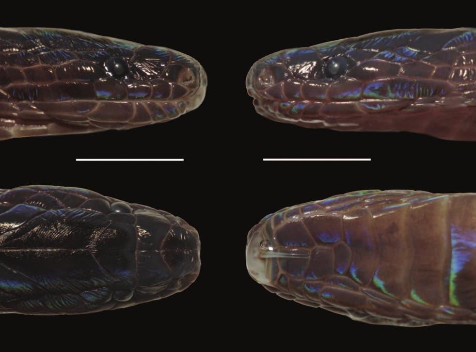 <p>Las escamas iridiscentes del recién descubierto Achalinus zugorum.</p>