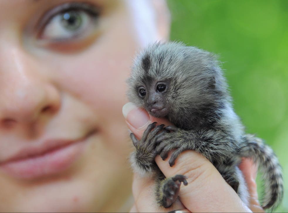 <p>Marmosets are one of the most popular species bought as pets in the UK</p>