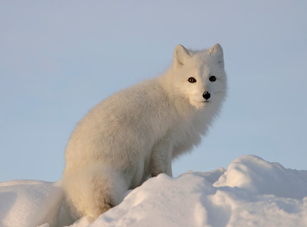 Hundreds of thousands of Arctic fox are bred each year for their fur