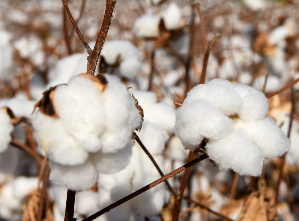 <p>A cotton field in Manas County in the Xinjiang region of China</p>