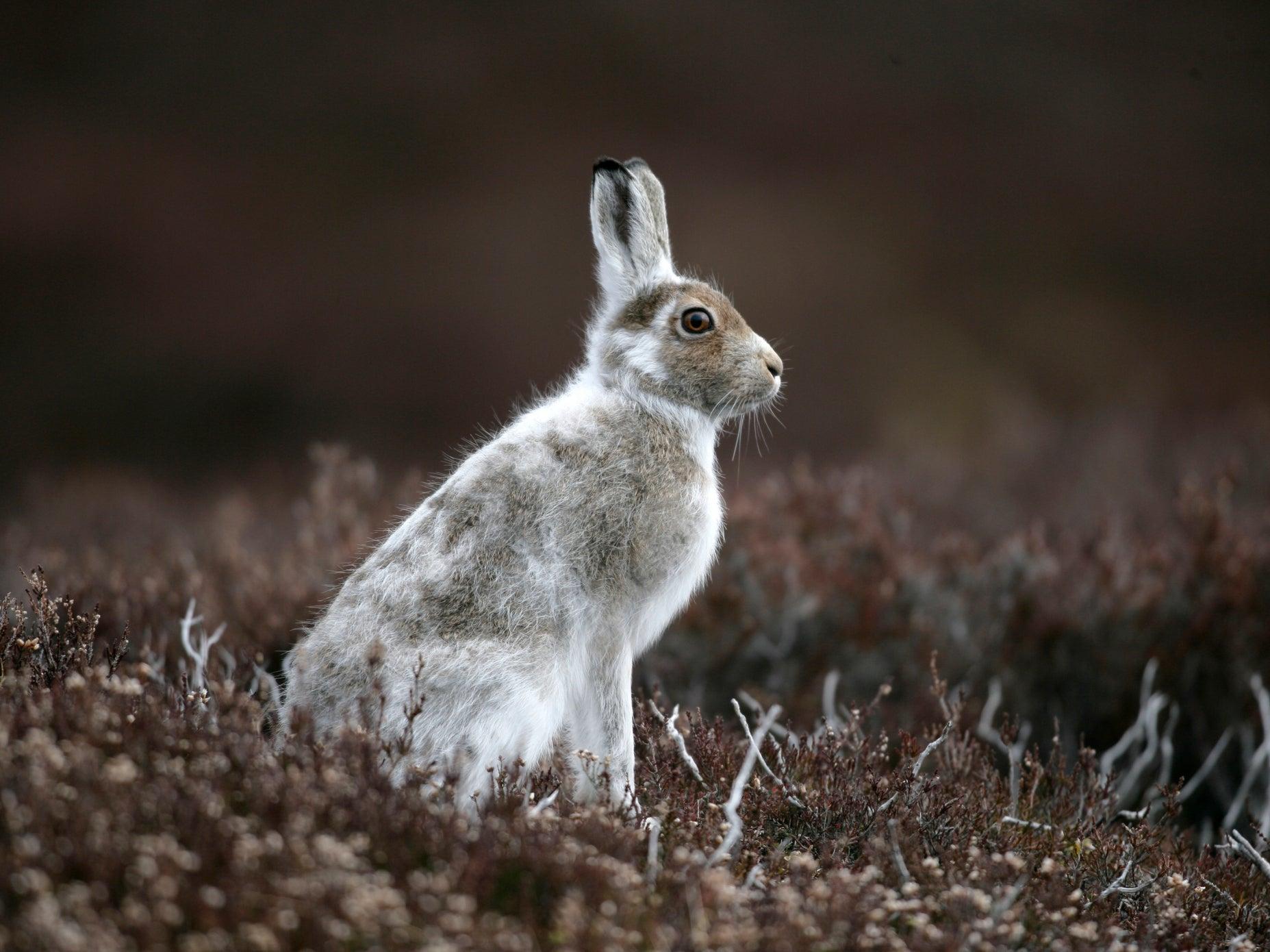 mountain hare lepus timidus irish mountain hare the secret life of the mountain hare mountain hares peak district mountain hare habitat the mountain hare white mountain hare