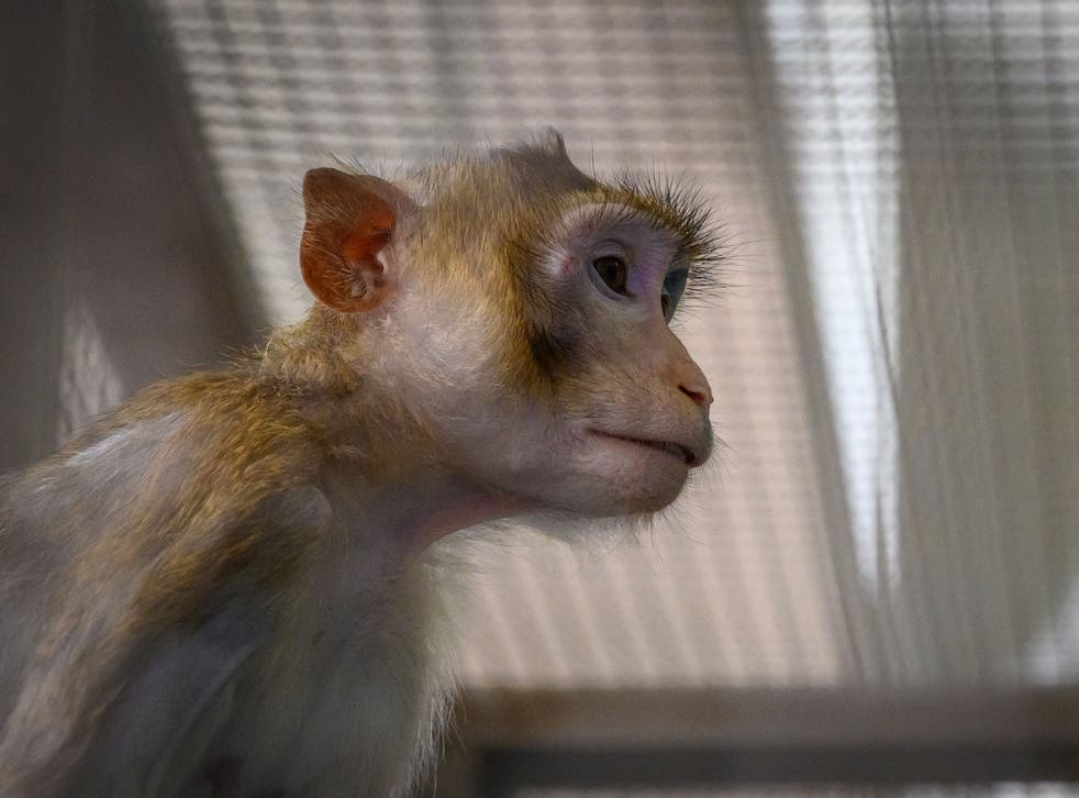 <p>Todos los monos, retenidos por el centro, fueron ejecutados por drogas administradas el pasado 2 de febrero.</p>