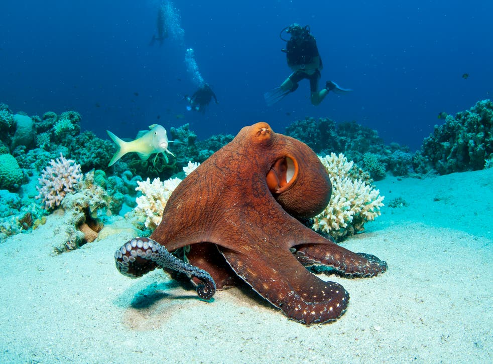 <p>An octopus on the bottom of the sea.</p>