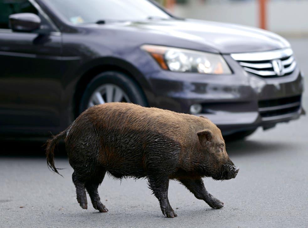 <p>Un cerdo vietnamita cruza una calle en la comunidad de Cantera, en Puerto Rico, el 11 de diciembre del 2020. Los animales se han reproducido a una tasa tal que la isla declaró una emergencia el año pasado para que las autoridades puedan iniciar su erradicación.&nbsp;</p>