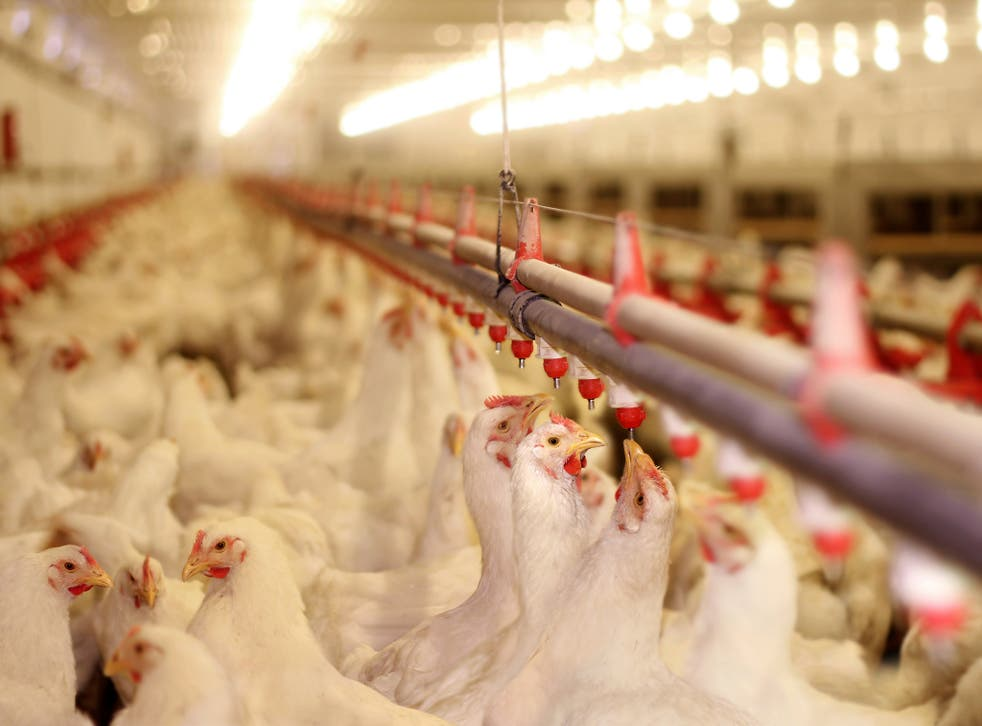 <p>Clucking hell: tens of billions of hens are killed annually</p>