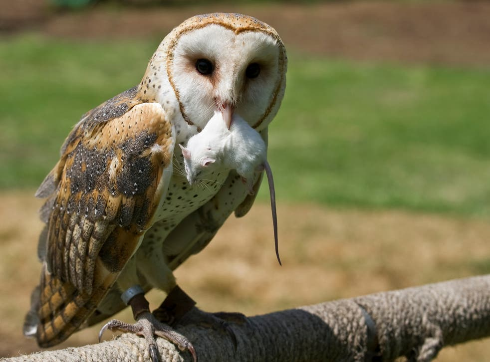 <p>Most British barn owls have rodent poison in them from eating small animals, analysis has found</p>