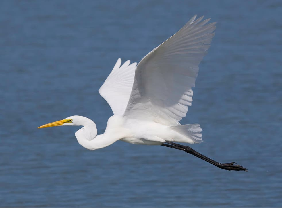 Over 8,000 great white egrets were spotted in the UK in 2020, up from 1,000 in 2010