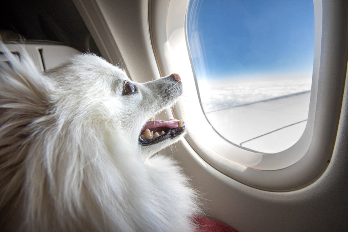 American Airlines will no longer allow emotional support animals on flights    The Independent