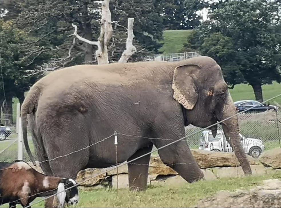 Cars drive past as Anne walks from her enclosure out into the open