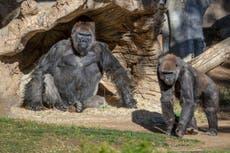 Gorilas dan positivo por COVID-19 en el Zoológico de San Diego
