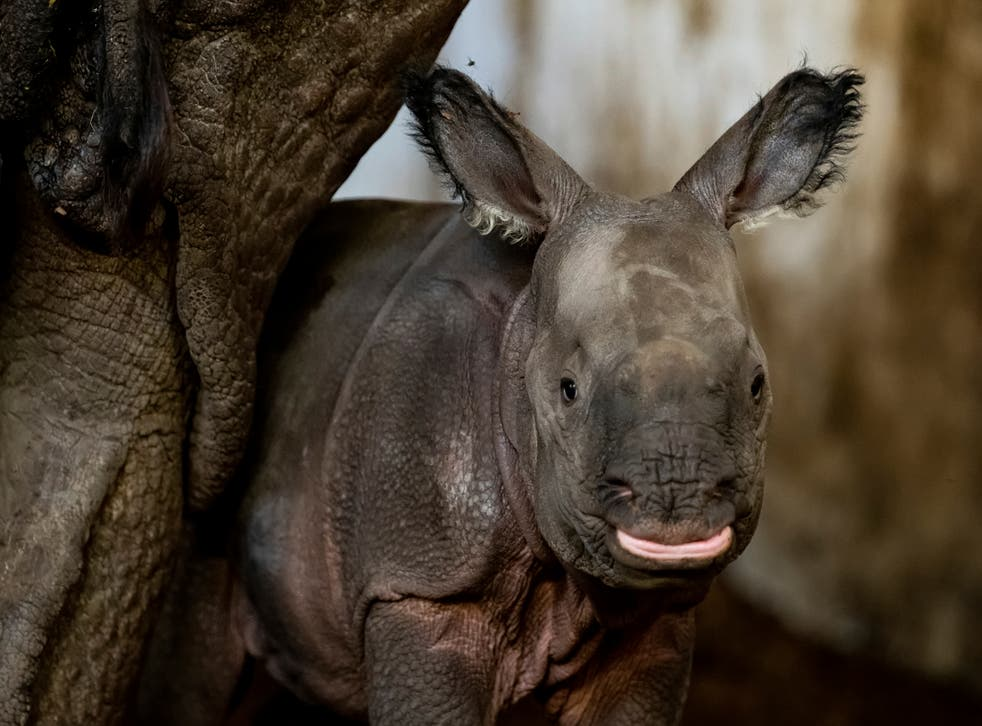 <p>Un rinoceronte indio en peligro de extinción nació la semana pasada en el zoológico de Wroclaw en Polonia</p>