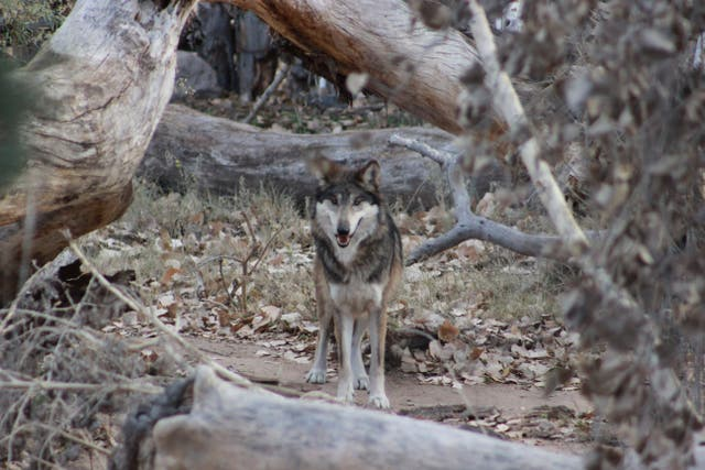 Endangered Wolves Mexico