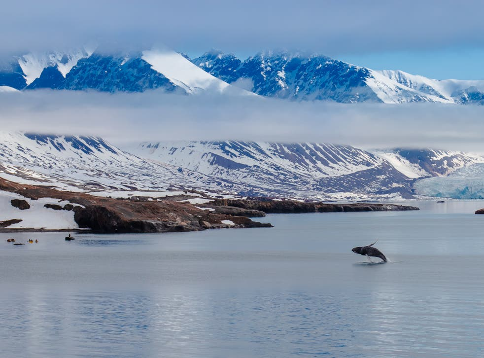 <p>A killer whale chases herrings in the Arctic Circle</p>