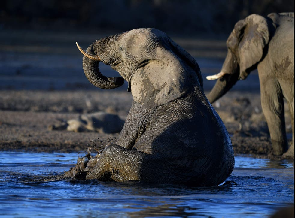 An elephant sits in water in the Okavango Delta near the Nxaraga village in the outskirt of Maun, Botswana