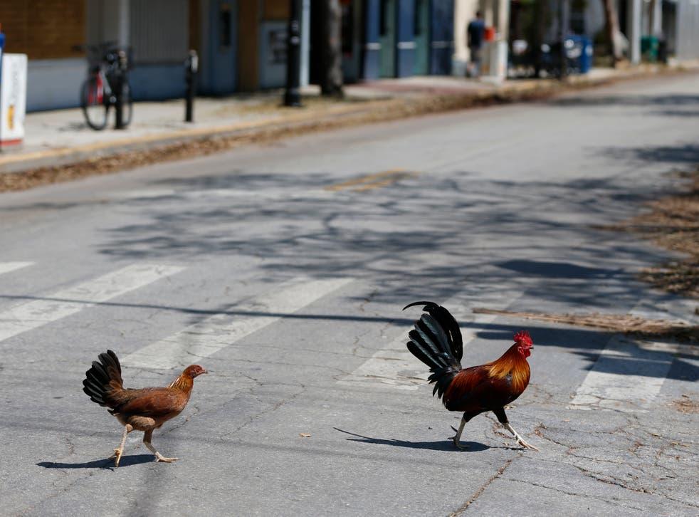 Key West-Chicken Ordinance