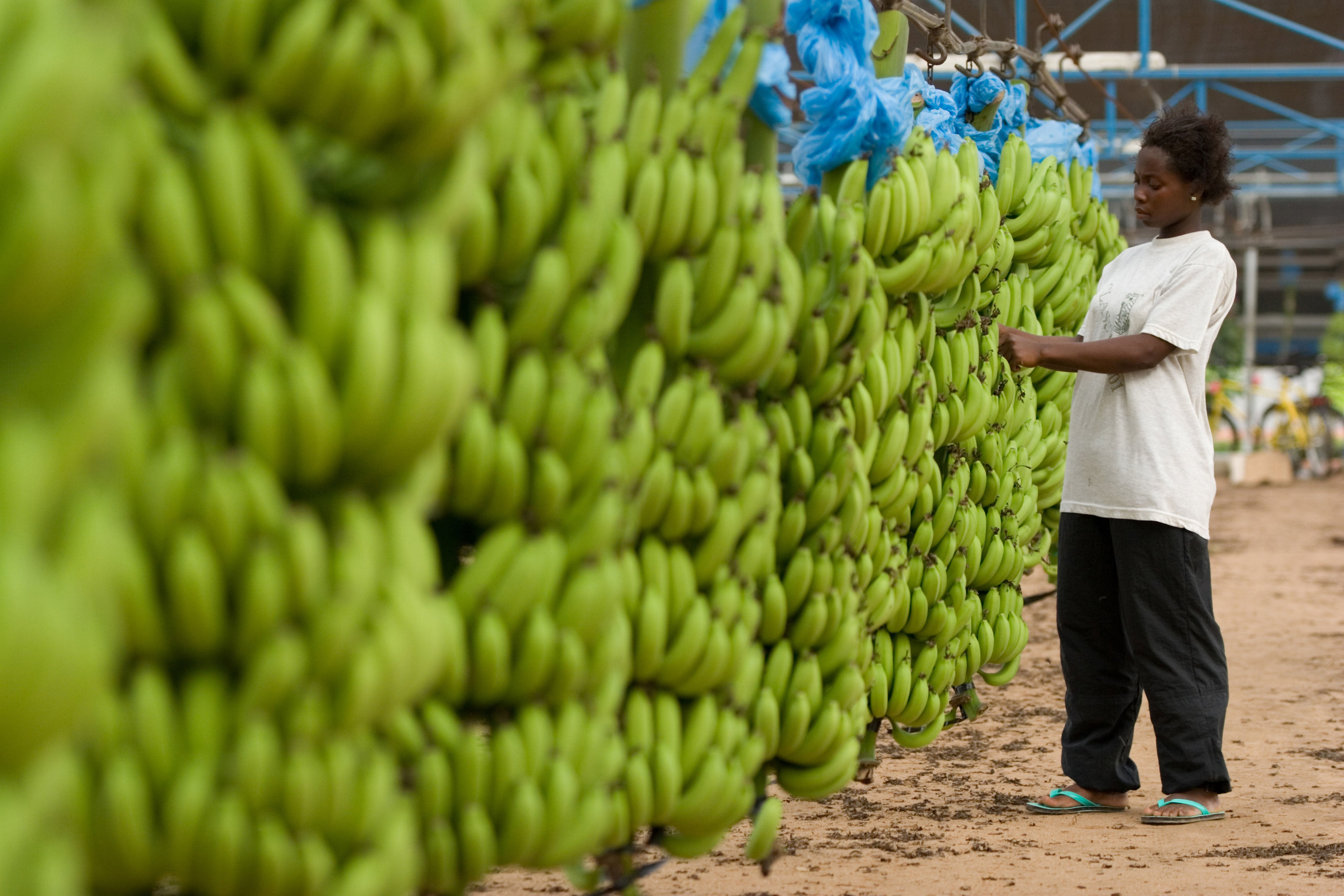 Brexit tariffs totalling £100,000 slapped on Fairtrade bananas from Africa