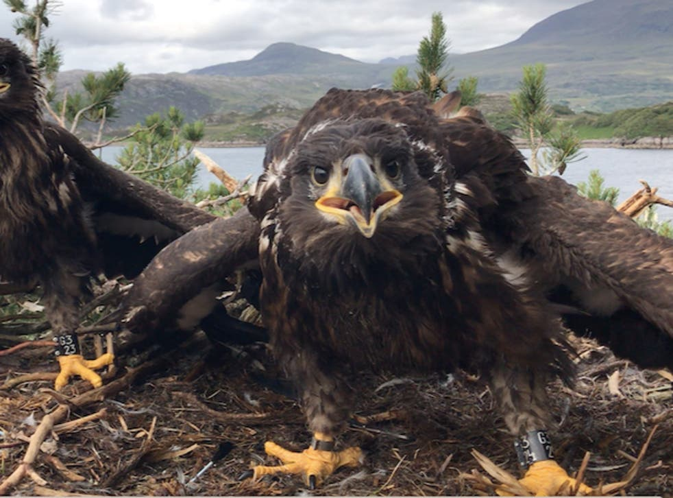 <p>Young white-tailed eagles in a nest in Scotland</p>