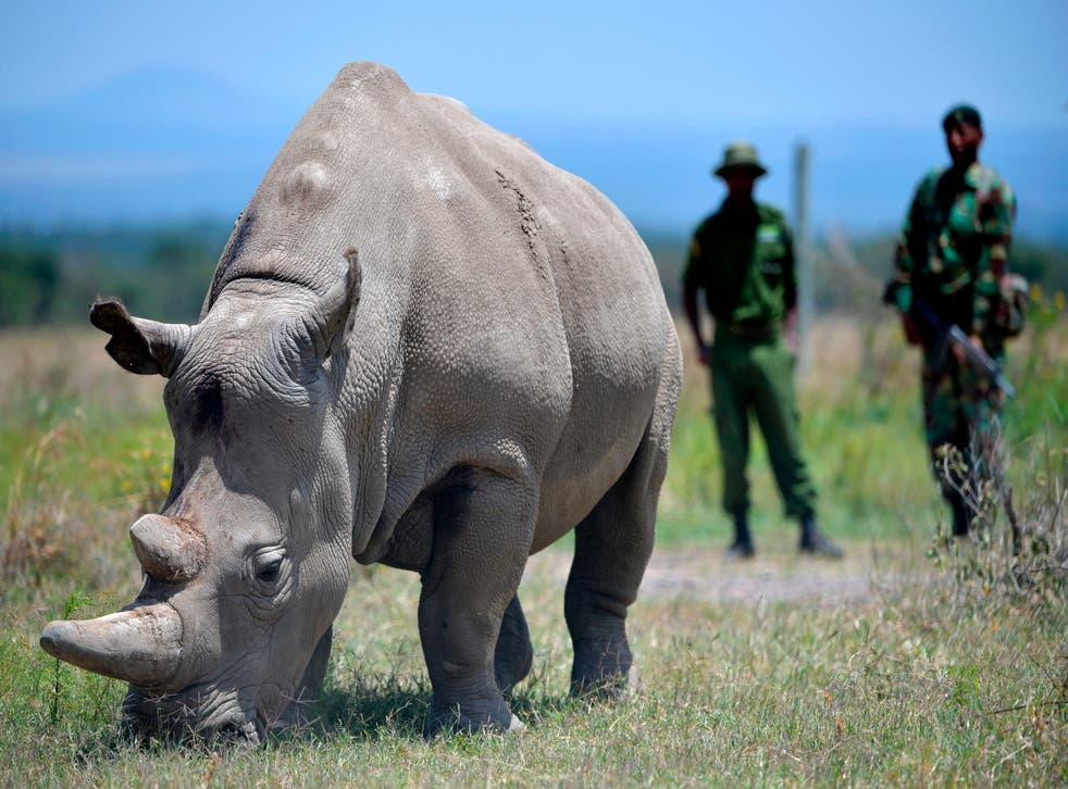 <p>A rhino grazes at the Ol Pejeta Conservancy in Nanyuki, 90 miles north of the Kenyan capital, Nairobi</p>