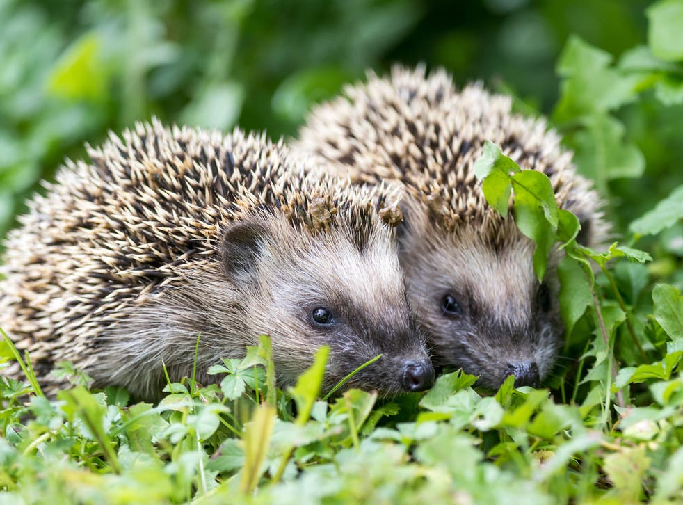 The UK's hedgehog numbers may have collapsed by as much as 97 per cent since the 1950s, research has suggested