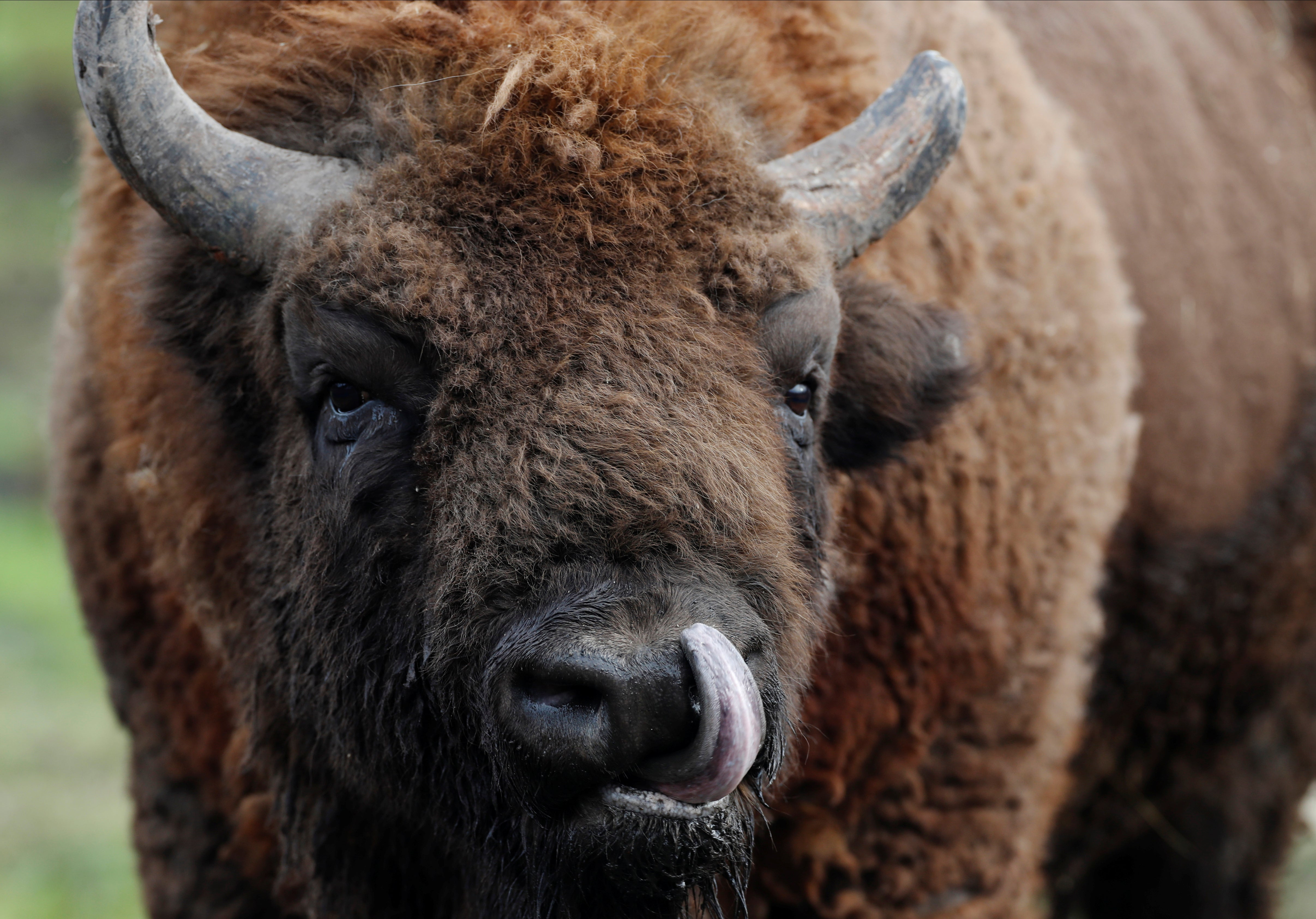 First-ever Bison rangers wanted in UK