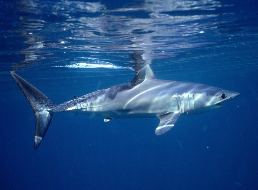 <p>Shark and ray populations plunged by 71.1% between 1970 and 2018</p>