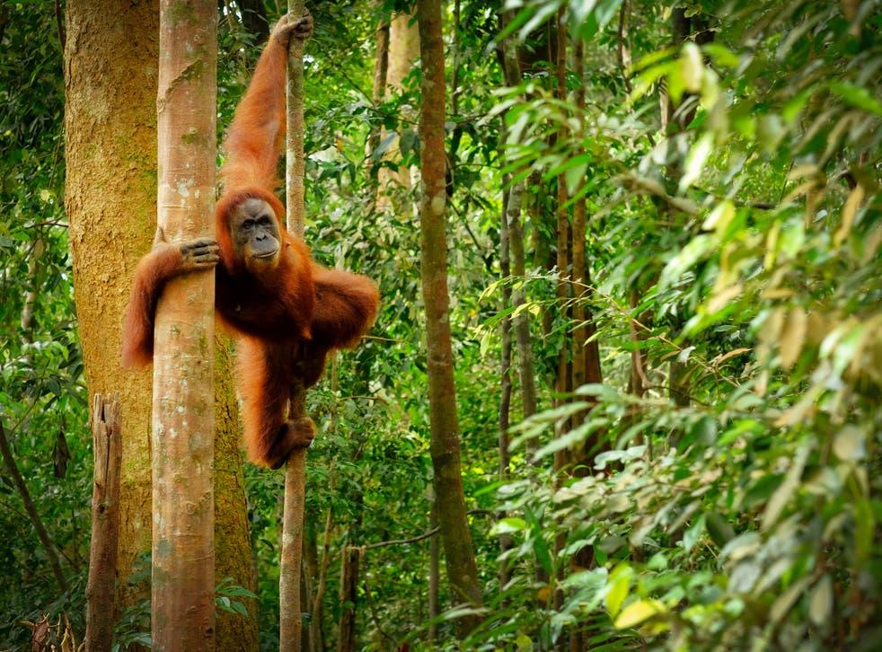 <p>Orangutan swinging from the trees</p>