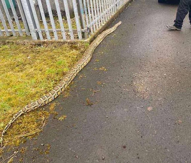 <p>'Look at the size of the beast' exclaimed an onlooker after the python was found&nbsp;</p>