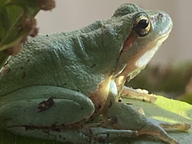 One of conservationist Derek Gow's European tree frogs