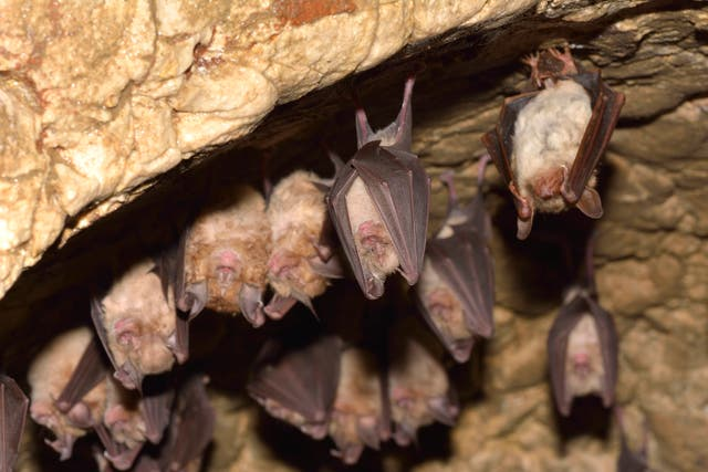 <p>Bats, like these lesser mouse-eared bats and lesser horseshoe bats, are known to carry coronaviruses</p>