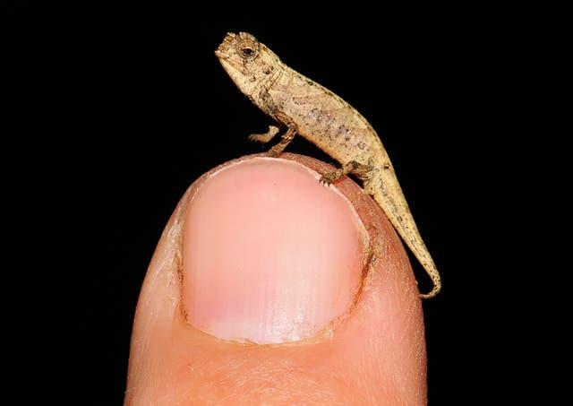 Madagascar Tiny Chameleon