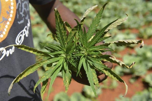 <p> El año pasado, en México, el Senado de la República aprobó en lo general la regulación tanto del consumo como del comercio de la marihuana para fines lúdicos y medicinales  </p>