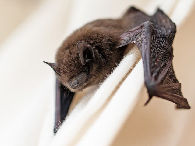 Fatal attraction: Bats have been killed by wind turbines in countries all around the world
