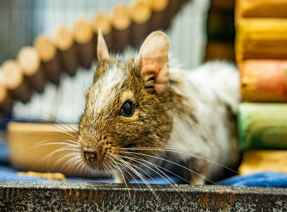 <p>A photo of the UK's 'loneliest degu' Greg which is looking for love this Valentine's Day</p>