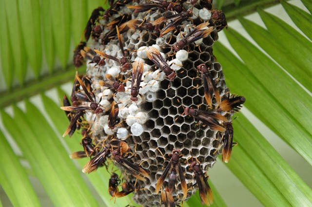 Paper wasps are models for understanding the evolution of altruism