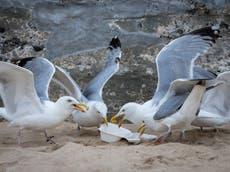"""""""Demasiado gordas para volar"""": gaviotas obesas del Golfo se quedan en tierra después de atiborrarse de comida rápida"""