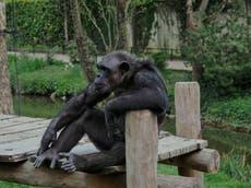 Texas: Un chimpancé y varios monos murieron durante la tormenta invernal en un santuario de animales