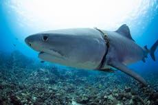 """""""Se me estremeció el estómago"""", cuenta un buzo al ver a un tiburón atrapado en una soga que le cortaba el cuerpo"""