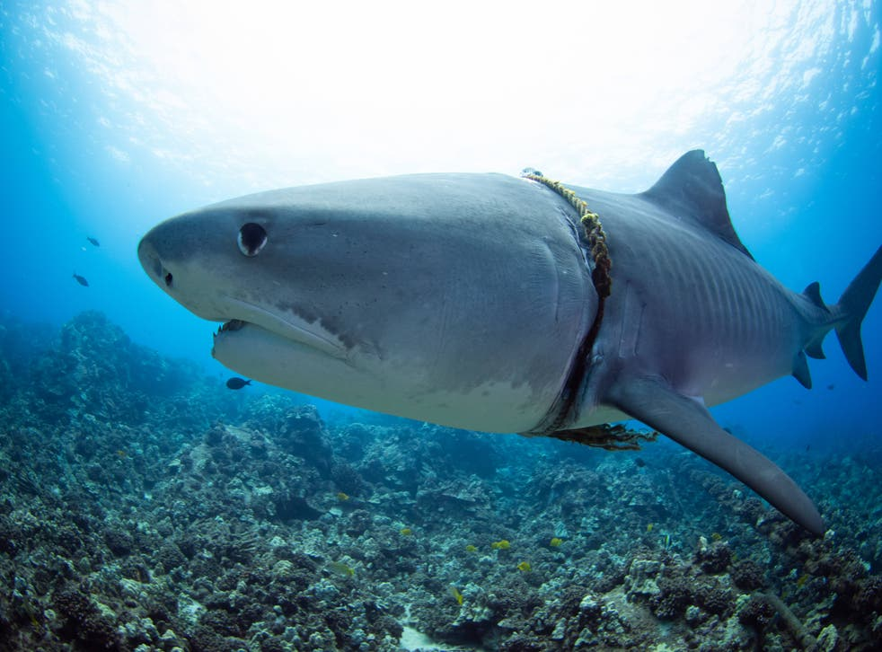 <p>It is not known how the rope got wrapped around the shark</p>