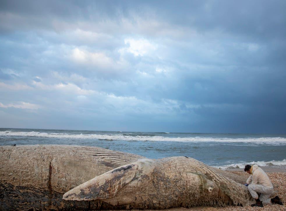 APTOPIX Israel Whale
