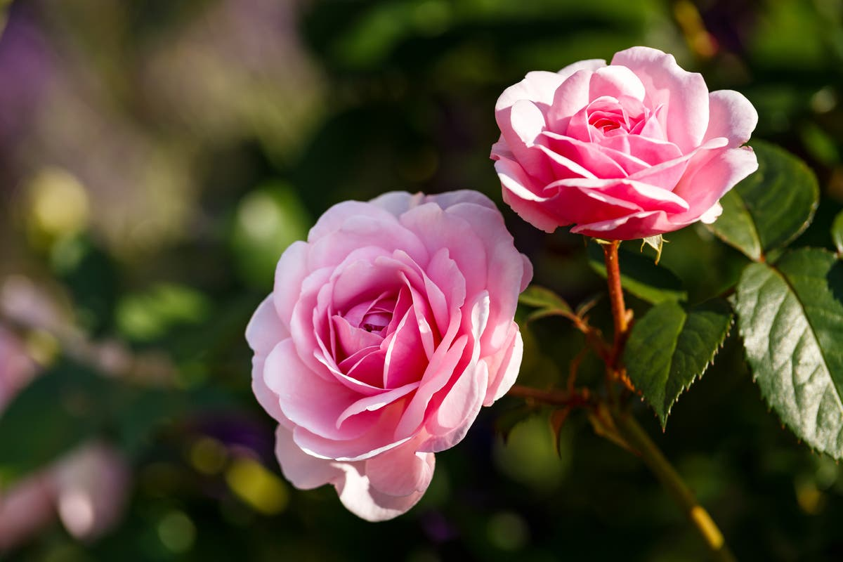 Why are roses so hard to grow?