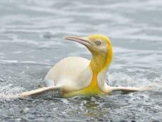 Fotógrafos captaron imágenes de un pingüino amarillo nunca antes visto, en el Atlántico Sur