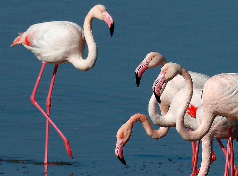 Cyprus Flamingos Salt Lake Lead