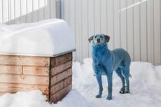 Perros se vuelven azules y verdes en Rusia; veterinarios sospechan de contaminación química