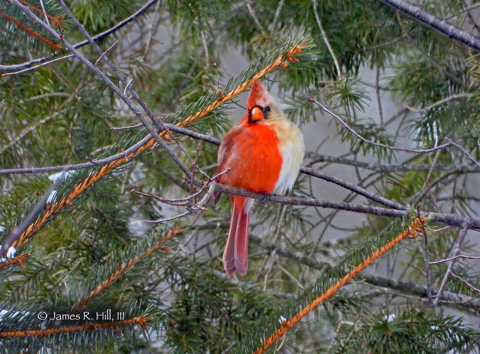 The rare half-male, half-female Northern Cardinal was spotted by birth-watcher Jamie Hill in Pennsylvania on February 20