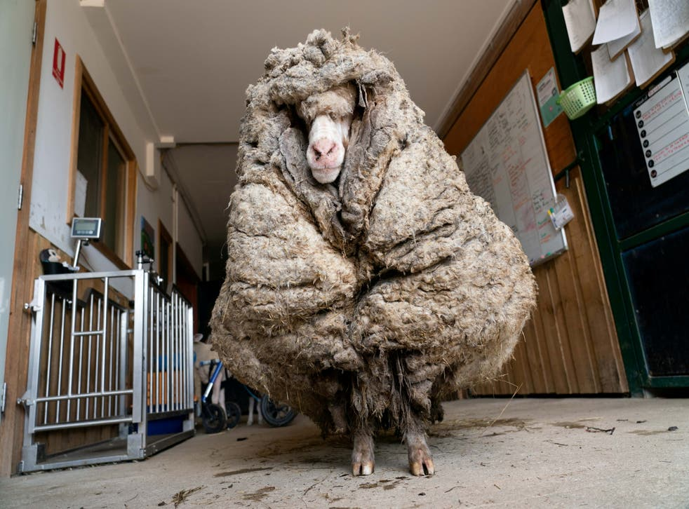 Sheep Baarack is seen before his thick wool was shorn in Lancefield, Victoria